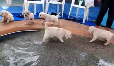 Roztomilá štěňátka poprvé u bazénu