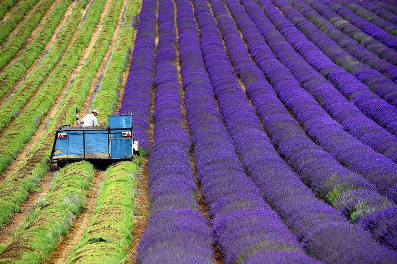 lavender-fields-harvesting-1