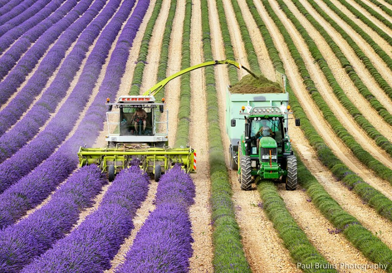 lavender-fields-harvesting-4